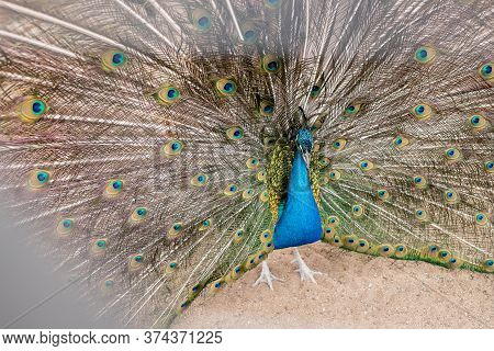 Beautiful Green Peafowl With Colorful Tail Fully Open.bright Blue Peacock In Zoo. Male Bird.
