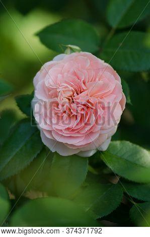 Pink Rose Bush In English Garden. Pink Rose Background