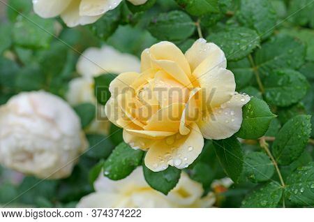 White And Yellow Roses In A Garden