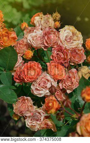 Beautiful Orange Rose. Splendid Orange Flowers