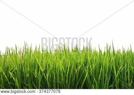 Paddy Rice Green Field Isolated On White Background.