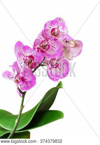 Phalaenopsis Orchid With Colorful Magenta Pattern Over A White Background Isolated On A White Backgr