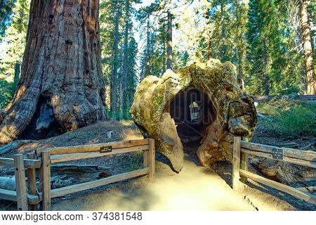 Majestic Giants In Sequoia National Park In California