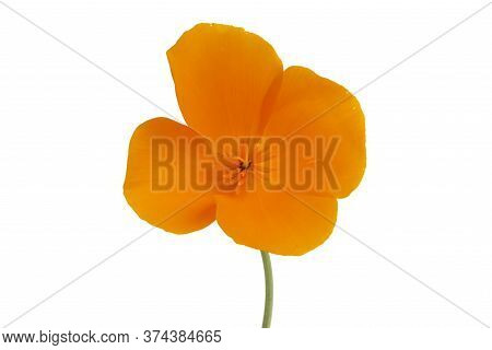 Californian Poppy Wildflower Isolated On White Background