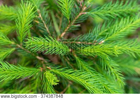 Young Branches Of Spruce. Closeup Of Green Spruce Young Needles.