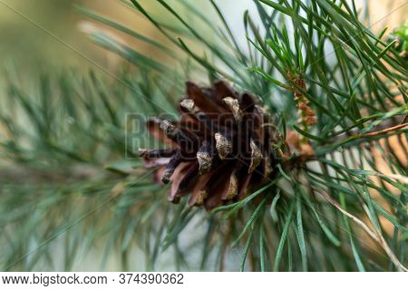 Branch Of A Pine Tree With Cone