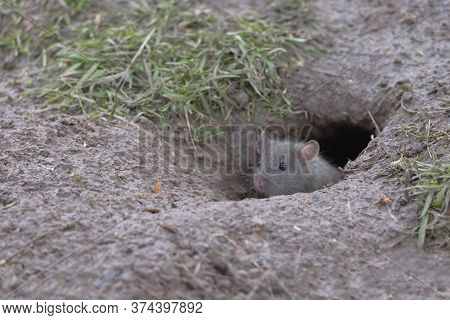 Young Baby Brown Rat, Rattus Norvegicus, Pokes Head And Face Out Of A Wet Muddy Burrow, Revealing Bl