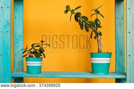 An Couple Of Aquamarine Pots With Small Green Crassula Ovata Succulent Money Tree On A Blue Cyan Woo