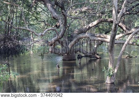 Large Beautiful Sprawling Mangrove Trees Growing In The Mangrove Forest And There Is Sunshine At Ray