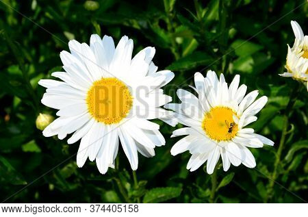 Two White Daisy Flowers, Large And Small.