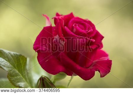 Close Up Of Fresh Red Rose Background