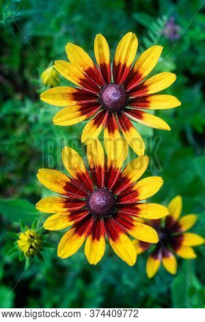 Rudbeckia Flower Blossoms In Summer