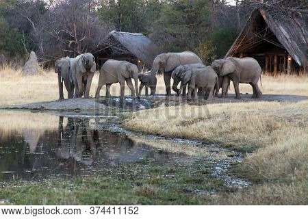 The African Bush Elephant (loxodonta Africana) And A Herd Of Elephants In A Camp. A Group Of Elephan