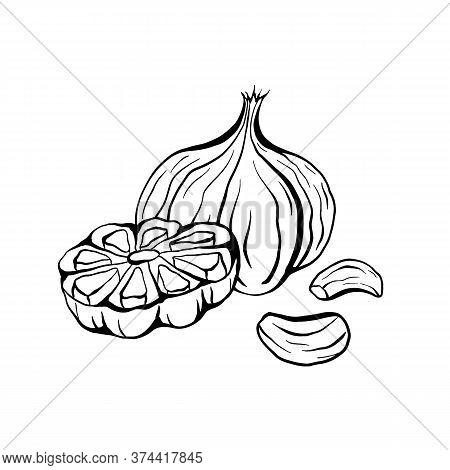 Outline Sketch Garlic Illustration. Antibacterial Product For Health. Useful Seasoning For Cooking.