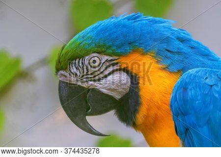 Colorful Portrait Of Blue And Yellow Macaw, Known As The Blue And Gold Macaw