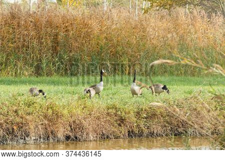 Canadian Geese On A River In Migration Season (branta Canadensis)