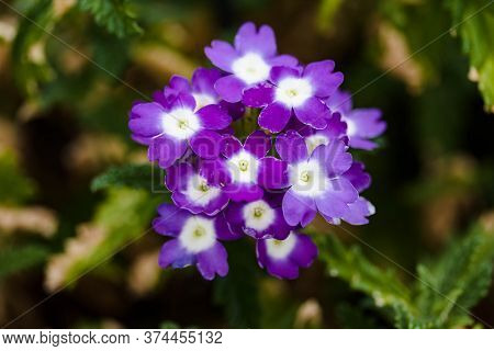 Cluster Of Purple And White Verbena Blossoms