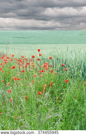Poppies With Red Petals In A Meadow Next To A Green Grain Field In Springtime