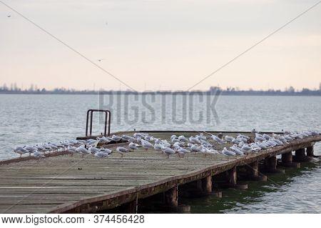 Black Headed Gulls On Their Winter Plumage, Also Called Chroicocephalus Ridibundus Resting On A Pier