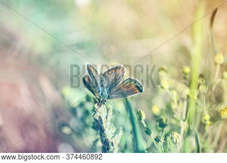 Beautiful Adonis Blue Butterfly On Plant In Field, Closeup. Space For Text