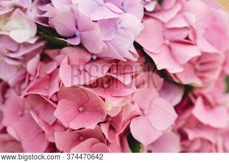 Hydrangea Pink Petals Close Up. Floral Background. Beautiful Pink And Purple Hydrangea Flowers At Ho