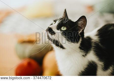 Cute Cat Sitting At Pumpkin And Fall Leaves On Table In Sunny Room. Portrait Of Green Eyes Cat On Ba