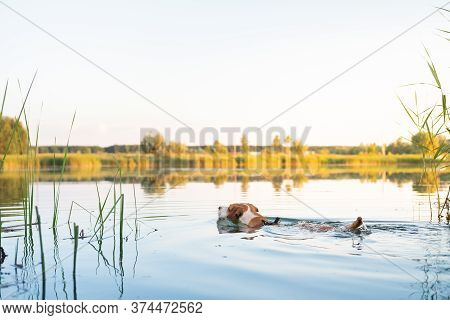Dog Swimming In The Lake On A Beautiful Summer Day. Active Pets, Enjoying Physical Activities, Playi