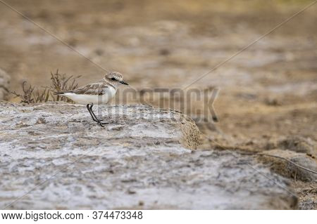 Little Ringed Plover (charadrius Dubis) In
