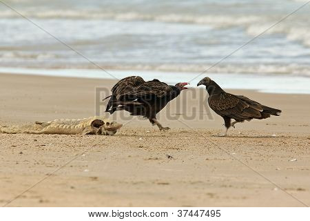 Turkey Vultures Competing for a Dead Lake Sturgeon