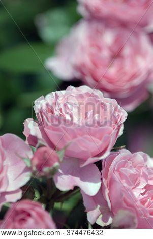 Delicate Pink Rose Flowers In Landscape Gardening Design, Light Pink Double Roses In Summer Garden