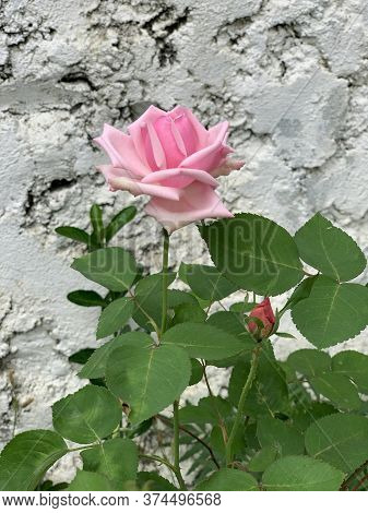 Small Rose Bush With The Pink Rose Flower Near The Grey Wall