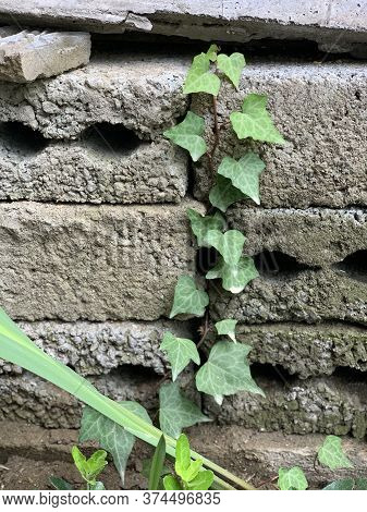 Small Green Ivy On The Old Bricks