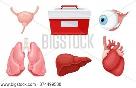Donor Organs With Liver And Lungs For Transplantation Vector Set
