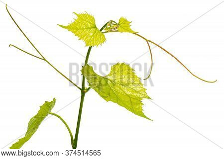 Single Decorative Branch Of Fresh Grapevine On White Background