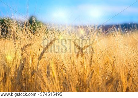 Rye Field In The Evening At Sunset. Ripe Gold Ears Of Cereals Glow In The Rays Of Sunlight. Selectiv