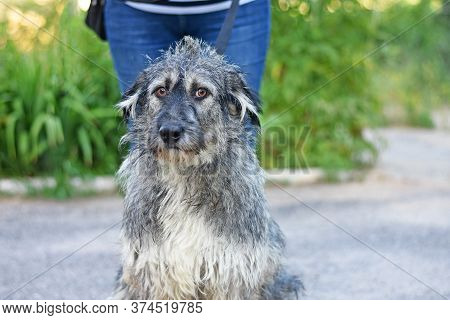 Funny Shaggy Dog Looking At The Camera Lens. Dog Portrait.