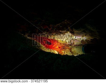 Electric Clam Or Ctenoides Ales In A Lit-up Cave With A Black Background. Photo From A Puerto Galera