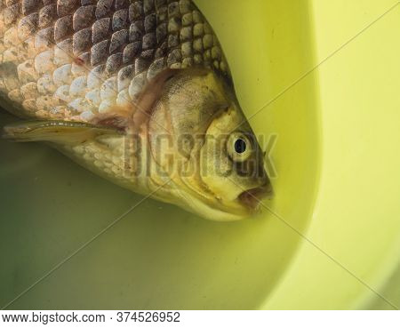 Freshly Caught Carp In A Basin. Fresh Fish In The Water.