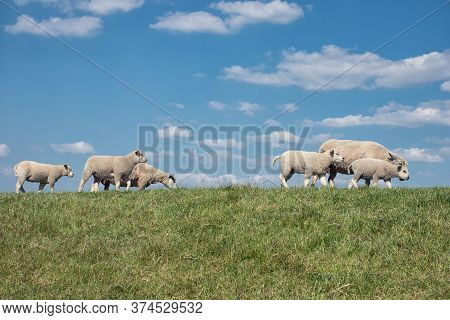 Dutch Dike With Flock Of Sheep And Beautiful Clouds Sky