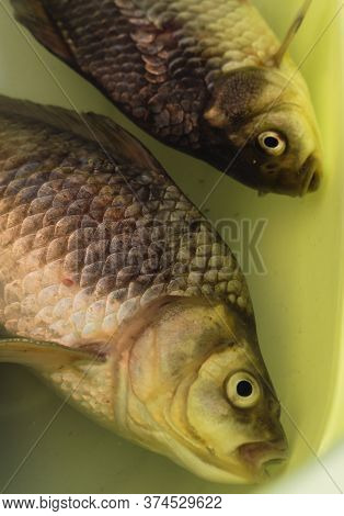 Freshly Caught Carp In A Basin. Fresh Fish In The Water. River Fish Species.