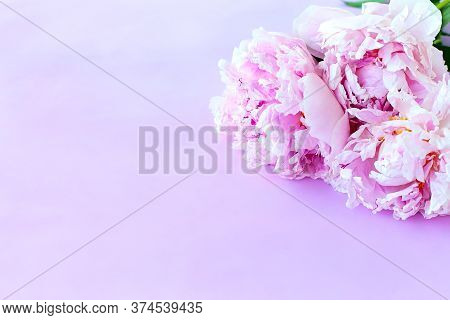Beautiful Pink Pion-shaped Rose. Bouquet Shrub Roses On Pink Background. Copy Space.