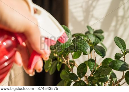 Ficus Watered From A Spray.houseplant Care. Female Hands Spraying Potted Plant With Water Sprayer. F