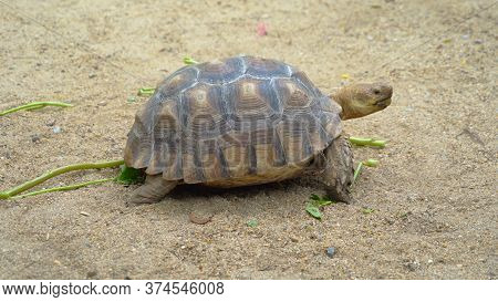 Asian Giant Turtle With Hard Shell Eating Food, Vegetables Isolated On Sand Ground In Zoo Park. Wild