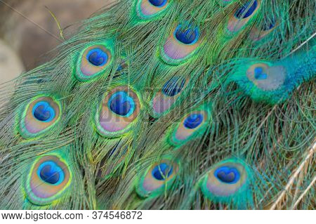 Peacock Bird Displaying Out Spread Tail Feathers With Colorful Plumage In Zoo Park. Wild Animal In N