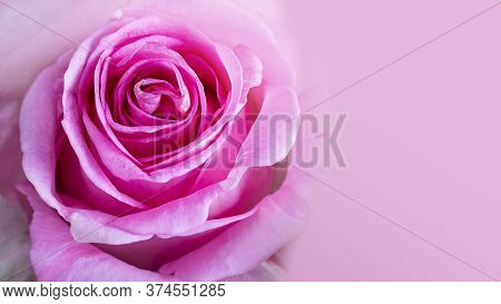 Close Up Of Bright Pink Rose With Beautiful Petals. Horizontal Banner With Copy Space For Text Or De