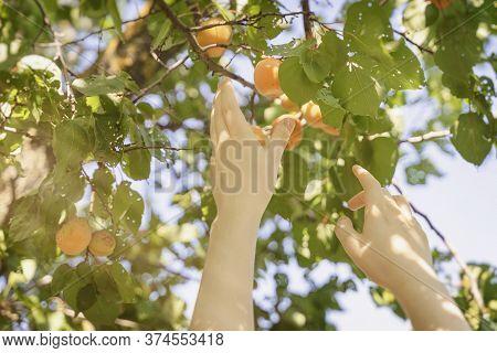 Picking Fruit In The Garden, Hand Picks Ripe Apricot, Summer Sunny Day, Harvest Season