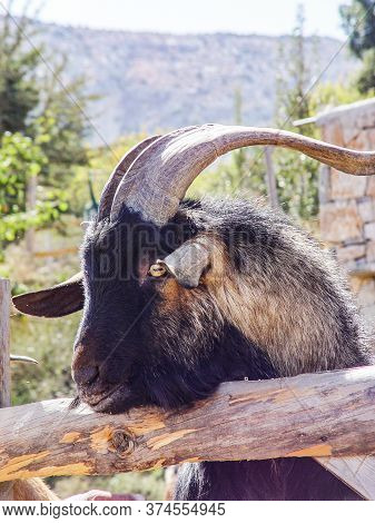 Head Of A Goat With Beautiful Horns. Greece