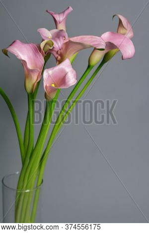 Bouquet Of Pink Calla Lilies In Glass Vase On Gray Background, Greeting Or Gift Concept, Selective F