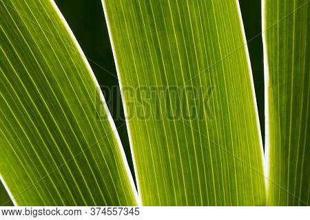 Close-up Of Backlit Green Leaves Of Iris Flower On A Sunny Day. Detail Of Veins With Parallel Lines