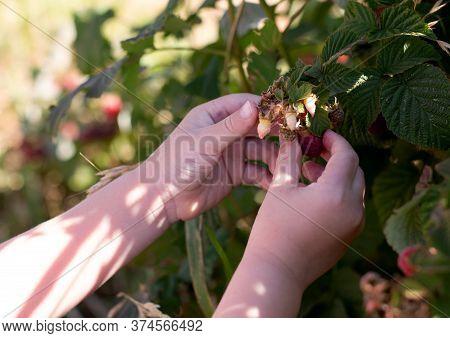 Children's Hands Tearing Raspberries From The Bush. Kibbutz Ein Zivan Israel.